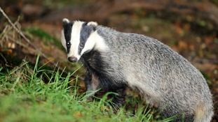 TB infected badgers could be killed