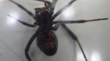 RSPCA called after workers find Black Widow spider