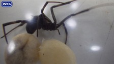Deadly black widow spider found in a box at Gatwick