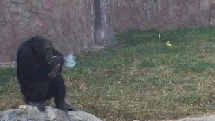 Smoking chimp is a hit at renovated zoo in North Korea