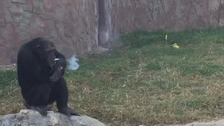 Azalea, the smoking chimpanzee