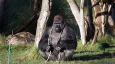 Escaped gorilla drank five litres of undiluted squash