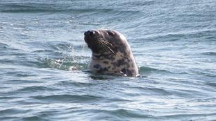 Grey seal molar