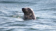 Grey seal 'Molar' makes a comeback off Dorset