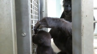 Big moment for baby gorilla at Bristol Zoo