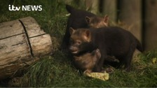 Rare Bush Dog pups surprise keepers at Chester Zoo