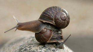 Lonely snail seeks mate for love in genetic study