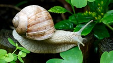 Scientists look for mate for lonely Jeremy the snail