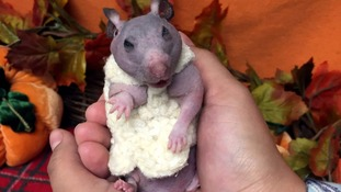 Silky the hairless hamster