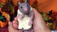Silky the hairless hamster