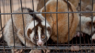 Critically-endangered slow lorises saved from illegal Facebook sale