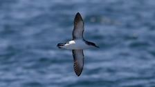 Manx shearwater numbers triple on the Scillies after islands are cleared of rats
