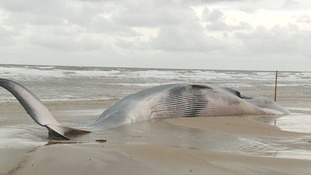 A fin whale that washed up at Holkam died of starvation.