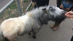 Police discovered the pony trotting around a skate park