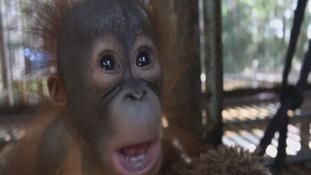 Gatot the orangutang is much happier now