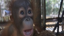 Gatot the orangutang is much happier now