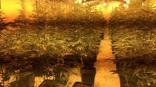 Police find 600 cannabis plants in disused building set with electric traps