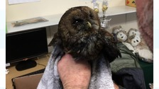 Sooty the Sweep: Young owl rescued from chimney
