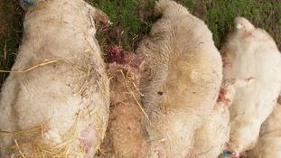 Dog savages 21 sheep