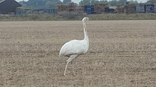 The rhea was spotted in the village of Hulcote in Bedfordshire.