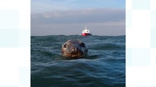 Scuba diver gets up close and personal with Farne Islands seal