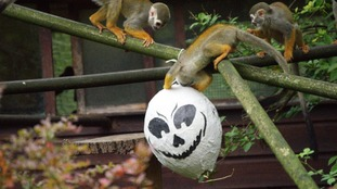 Monkey-ing around at the zoo for Halloween