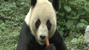 Meiling the panda enjoying a snack after fighting off his intruder.
