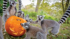Ring-tailed lemurs enjoying pumpkins at Dudley Zoo