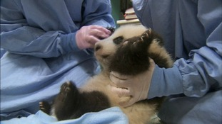 Giant panda cub's first steps