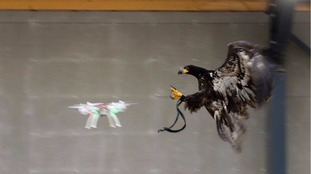 Could eagles stop drug-laden drones from getting into prisons?