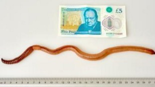 Watch: Dave the worm is the biggest in the UK