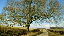 Ash trees like this one are under threat