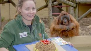 Benji the orangutan enjoys birthday cake, cards and presents