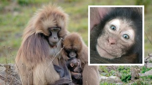 Gelada gestation is usually around six months and mothers will carry the baby on their stomach for the first few weeks.