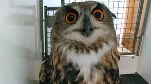 RSPCA search for owner of eagle owl found in Aberdare