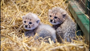 Cheetah cubs make history for being first ever born at Longleat safari park