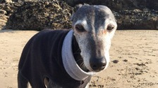 Walnut the whippet is 18 years old