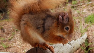 Brownsea Island red squirrels carry leprosy strain