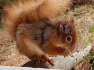 Some squirrels showed signs of swelling and hair loss from the ears, muzzle and feet.