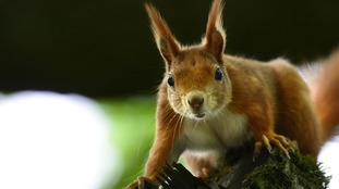 Fewer than 140,000 red squirrels remain in the UK