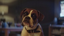 Buster the boxer is the star of the advert.