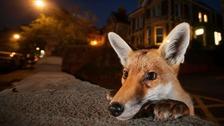 Sam Hobson was behind this up close view of an urban fox