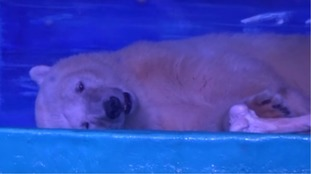 'World's saddest polar bear' kept in Chinese shopping centre to return to ocean park