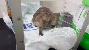 Wildlife charity helping poorly hedgehogs to hibernate
