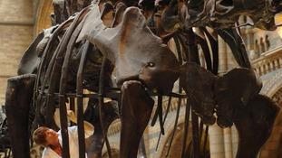 Dippy the Diplodocus is 26-meters long.