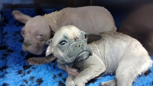 Two bulldog pups found abandoned in cardboard box