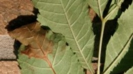 Chalara dieback of ash is a serious disease of ash trees caused by a fungus called Chalara fraxinea