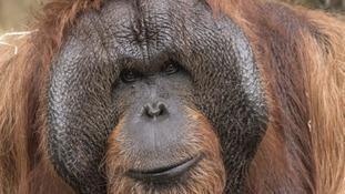 Dudley Zoo's orangutangs star in their own calendar