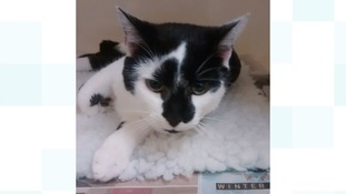 The cat is being treated at a local veterinary surgery for a suspected broken pelvis