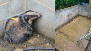 Badger found underneath a swimming pool